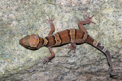 Cyrtodactylus samroiyot, Sam Roi Yot District, Prachuap Khiri Khan Province; photo. by Wanlada Thanaprayotsak.