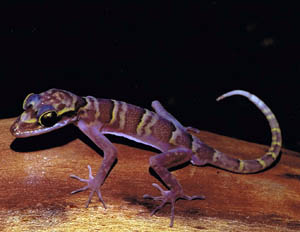 Cyrtodactylus chanhomeae, Saraburi Province, central Thailand; photo. by Lawan Chanhome