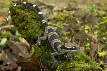 Cyrtodactylus trilatofasciatus, Cameron Highlands, Peninsular Malaysia; photo. by Lee Grismer