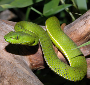 Trimeresurus (Popeia) nebularis, young female, Mount Brinchange, Cameron Highlands, Malaysia; photo. by Gernot Vogel