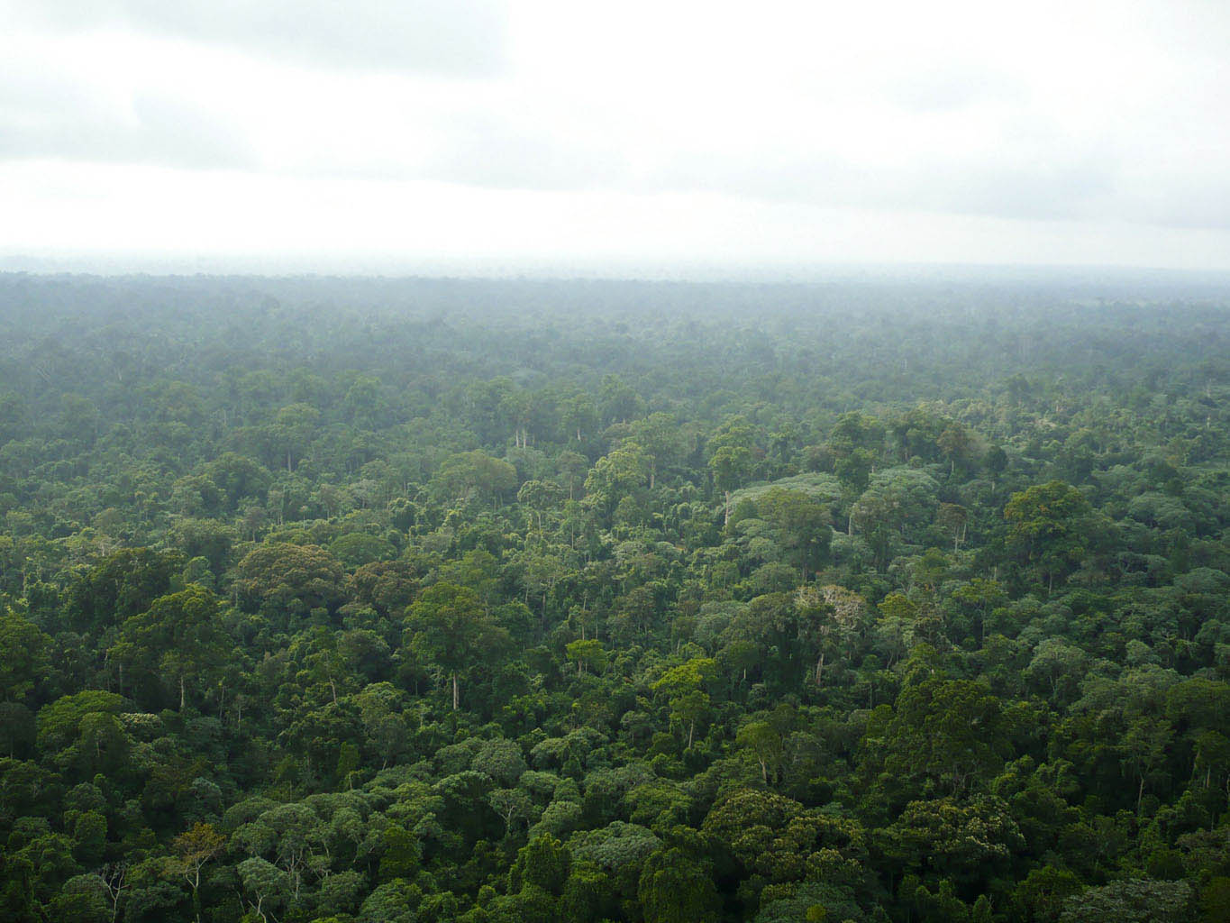 Primary Rain forest - Ogooue Maritime Province Southwestern Gabon