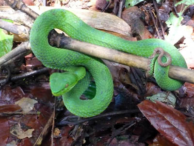 Trimeresurus fucatus, Punyaban Waterfall, Ranong province, Thailand; photo by O.S.G. Pauwels