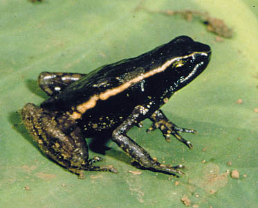Werneria submontana, Bakossi Mountains, Cameroon; photo. by Andreas Schmitz
